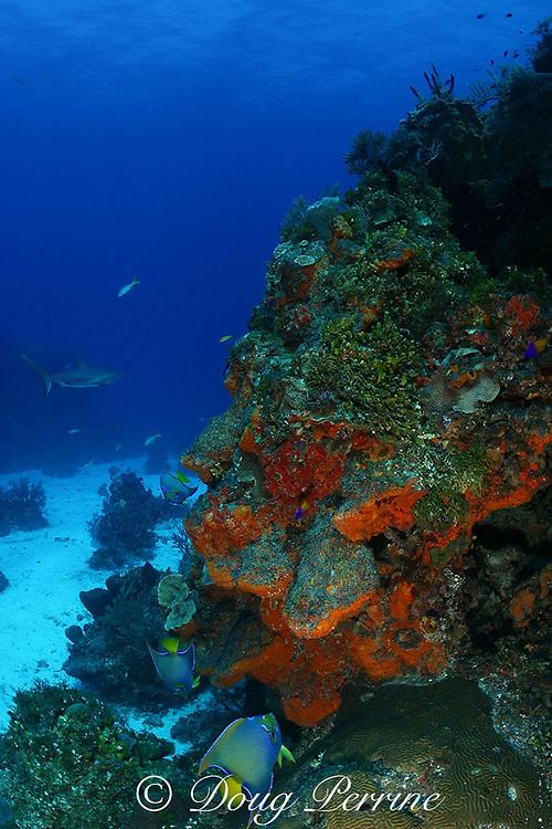 queen angelfish, Holacanthus ciliaris, on coral reef with Caribbean reef sharks and orange elephant ear sponges,  Bahamas ( Western Atlantic Ocean )