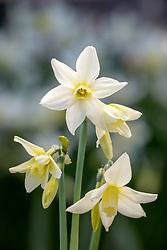 Narcissus 'Toto' AGM - Daffodil