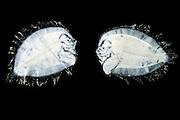 [captive] Flatfish (Bothidae sp) larva with upright swimming and bilaterally symmetric bodies. When the larva develops to an adult asymmetric vertebrat, the right eye migrates from the right side of the body to the left where it 'joins' the left eye. Atlantic Ocean close to Cape Verde | Als Larven haben Plattfische (Bothidae sp.) noch eine bilateral-symmetrische Körperform und schwimmen aufrecht im offenen Wasser.