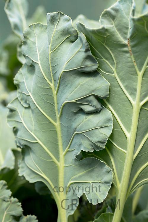 Sea Kale, Cranbe maritima, in organic vegetable garden in Oxfordshire UK