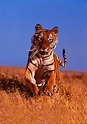 Portrait of a bengal tiger, panthera tigris tigris, property released by Randy Wells