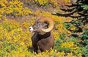 Bighorn ram (Ovis canadensis) on Wilcox Ridge, Jasper National Park, Alberta, Canada