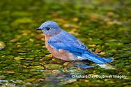 01377-18105 Eastern Bluebird (Sialia sialis) bathing Marion Co. IL