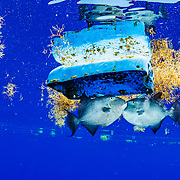 Triggerfish fight over a plastic barrel in the middle of the Atlantic Ocean.