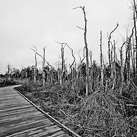A trail in Sandy Hook NJ near Gunnison Beach that has a number of dying or dead trees.  The trees were flooded by salt water as a result of superstorm Sandy and didn't survive.