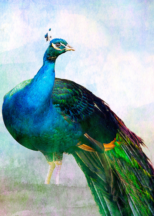 A soft painterly peacock