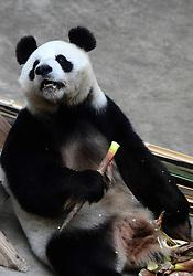 CHANGCHUN, Oct. 4, 2016 (Xinhua) -- Giant panda ''Jia Jia'' eats at the panda hall of Siberian Tiger Park in Changchun, northeast China's Jilin Province, Oct. 4, 2016. Giant pandas ''Meng Meng'' and ''Jia Jia'' attracted a large number of tourists during the National Day holiday. (Xinhua/Lin Hong)(mcg) (Credit Image: © Lin Hong/Xinhua via ZUMA Wire)