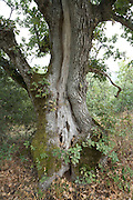 a close up of a very old oak tree