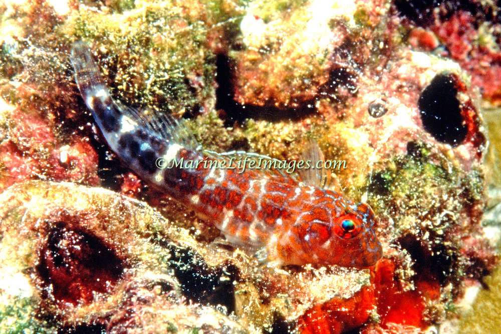 Orangespotted Blenny inhabit shallow coral and recky areas, often reside in barnacle shells in Tropical West Atlantic; picture taken Nassau, Bahamas.