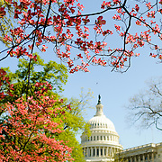 Brightly colored trees with spring blooms frame the US Capitol Dome in the distance in Washington DC.