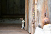 DOORWEASEL | Least weasel (Mustela nivalis) checks on the visitors to his rural cabin in Montana's Rocky Mountain Front