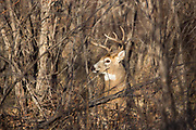 Whitetail buck in dense brushy cover.