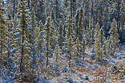Snowfall on boreal forest<br />Rossport<br />Ontario<br />Canada