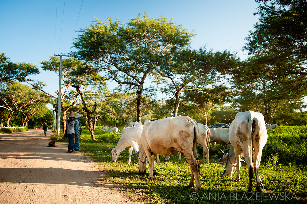 Myanmar, Bagan. Cattle coming back after a day spent in the meadow stops on the road in Bagan.