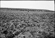 "9707-K207. written on original negative: ""The holluschickie on St. Pauls CLA""  St. Pauls Island. Pribilof Group. July 11, 1919"