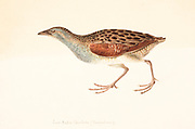 The corn crake, corncrake or landrail (Crex crex) is a bird in the rail family. It breeds in Europe and Asia as far east as western China, and migrates to Africa for the Northern Hemisphere's winter. It is a medium-sized crake with buff- or grey-streaked brownish-black upperparts, chestnut markings on the wings, and blue-grey underparts with rust-coloured and white bars on the flanks and undertail. The strong bill is flesh-toned, the iris is pale brown, and the legs and feet are pale grey. 18th century watercolor painting by Elizabeth Gwillim. Lady Elizabeth Symonds Gwillim (21 April 1763 – 21 December 1807) was an artist married to Sir Henry Gwillim, Puisne Judge at the Madras high court until 1808. Lady Gwillim painted a series of about 200 watercolours of Indian birds. Produced about 20 years before John James Audubon, her work has been acclaimed for its accuracy and natural postures as they were drawn from observations of the birds in life. She also painted fishes and flowers. McGill University Library and Archives