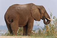 Impressionen aus dem Lower Zambezi NP im September gegen das Ende der Trockenzeit.<br /> <br /> Der Afrikanische Elefant (Loxodonta africana) ist eine Art der Familie der Elefanten. Er ist das größte gegenwärtig lebende Landsäugetier der Welt. Der früher als Unterart des Afrikanischen Elefanten betrachtete Waldelefant (Loxodonta cyclotis) wird heute als selbstständige Art angesehen. Zur Unterscheidung von diesem wird Loxodonta africana auch als Steppenelefant bezeichnet. Er zählt zu den sogenannten Big Five.