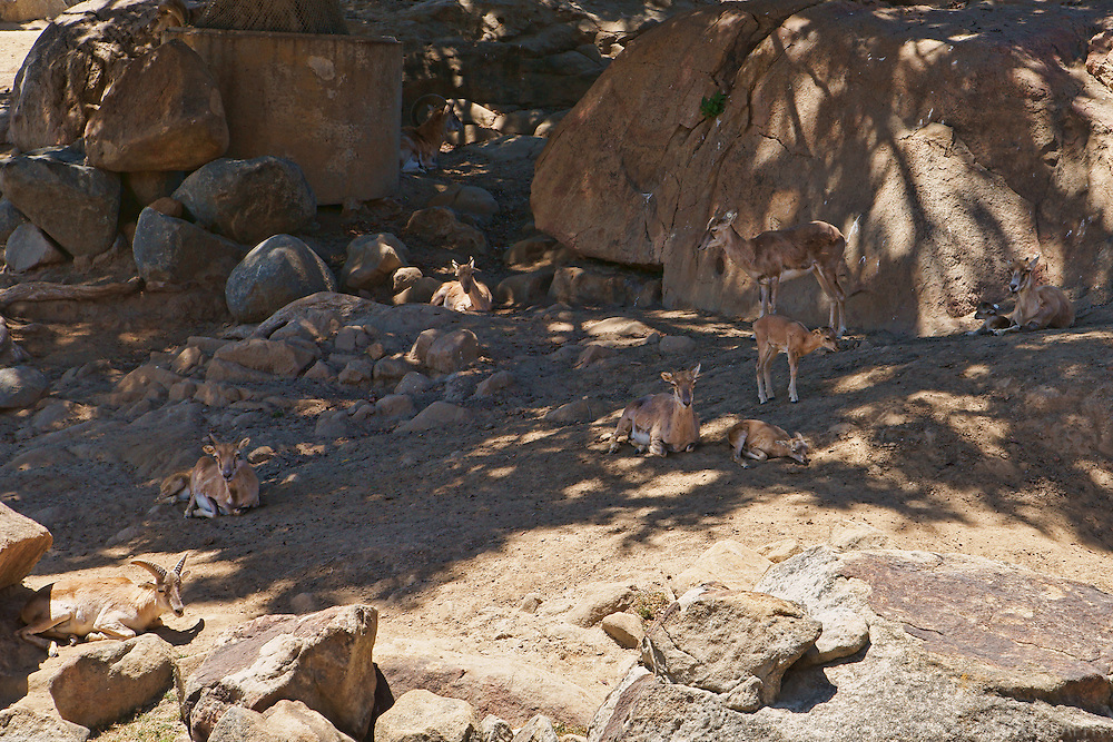 Antelope Dynasty