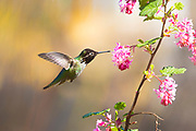 An Anna's hummingbird (Calypte anna) sticks out its tongue to feed on a red flowering currant (Ribes sanguineum).