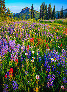 Variety of summer wildflowers along the Naches Peak loop trial in Mount Rainier National Park