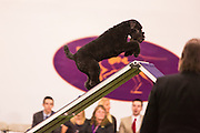 New York, NY - 8 February 2014. Brolin, a Kerry Blue terrier, at the apex of the A-frame.