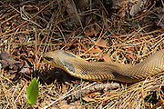 Eastern Hognosed Snake hunting in habitat