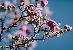 THEMENBILD - Magnolienblüten an einem Baum während der Corona Pandemie, aufgenommen am 17. April 2019 in Hallstatt, Österreich // Magnolia blossoms on a tree during the Corona Pandemic in Hallstatt, Austria on 2020/04/17. EXPA Pictures ©️ 2020, PhotoCredit: EXPA/ Stefanie Oberhauser
