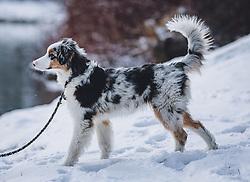 THEMENBILD - ein Hund an einer Leine auf einer Schneefläche, aufgenommen am 03. Dezember 2020, Zell am See, Österreich // a dog on a leash on a snow surface on 2020/12/03, Zell am See, Austria. EXPA Pictures © 2020, PhotoCredit: EXPA/ Stefanie Oberhauser