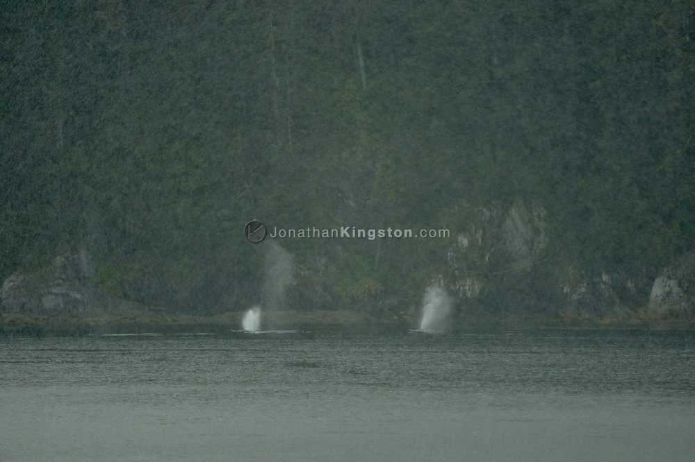 Mist rising from the blowholes of humpback whales on a rainy day in southeast Alaska.