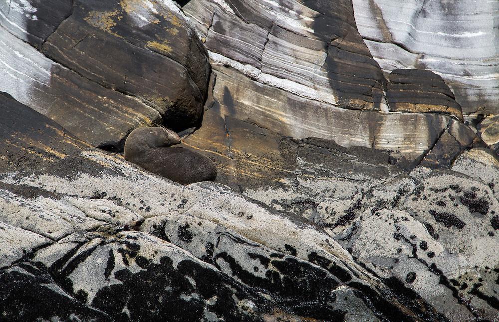 Fur Seal sleeping in Milford Sound