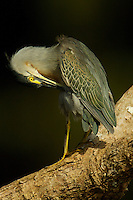 Striated Heron (Butorides striata) along Anangu creek in Yasuni National Park, Orellana Province, Ecuador