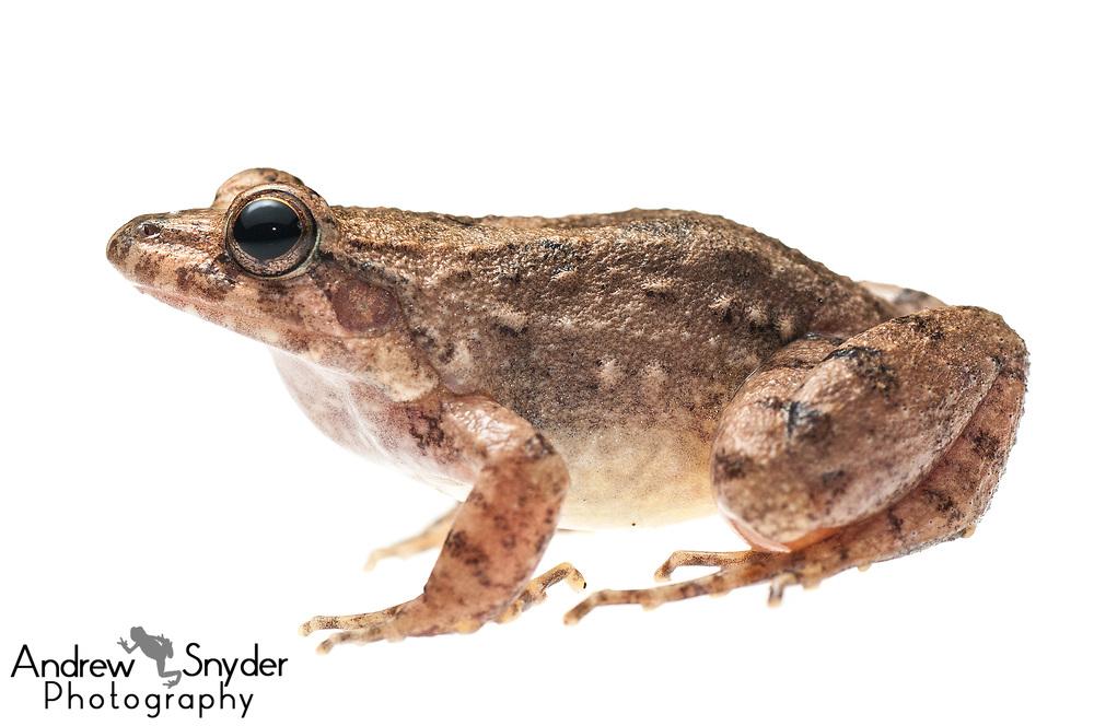 Windward Ditch Frog, Leptodactylus validus, Yupukari, Guyana, July 2013