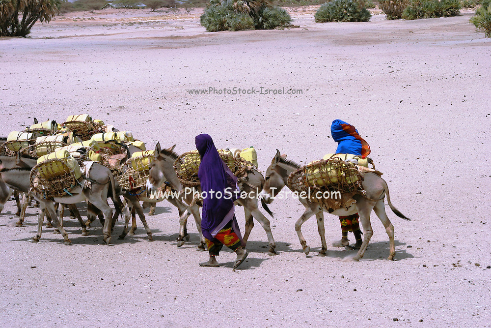 Africa, Kenya, Turkana tribe A convey of donkeys carrying goods and water across the salt marshes October 2005