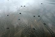 Olive ridley sea turtle hatchlings (Lepidochelys olivacea) on their way to the sea. They orient themselves by the brightness of the horizont above the ocean and they are always at risk of being eaten by birds, crabs or later by fish. Being in a group at least on the beach enhances the chances of the single animals to survive. | Nach 45 bis 55 Tagen Brutdauer im warmen Sand sind diese junge Oliv- Bastardschildkröten (Lepidochelys olivacea) geschlüpft und machen sich auf den gefährlichen Weg zum Wasser. Orientierungshilfe gibt dabei die Helligkeit des Horizonts über dem Meer.