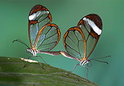 Greta Oto, Clearwing, Glasswing Butterfly, Central America, pair mating,