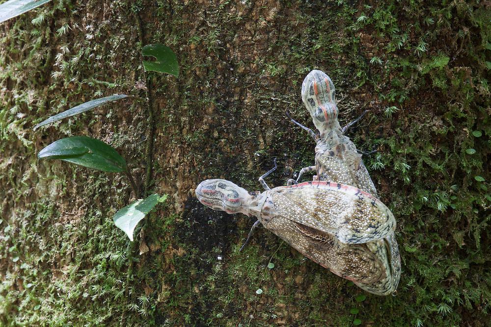 Mating peanut-head bug (Fulgora laternaria). Conservation Concession of the Queros Wachiperi Native Community near Pilcopata, Peru. The Haramba Queros Wachiperi Conservation Concession is part of the Los Amigos - Tambopata Conservation Corridor.