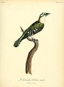 Male Coucou didric Chrysococcyx caprius - Diederik Cuckoo from the Book Histoire naturelle des oiseaux d'Afrique [Natural History of birds of Africa] Volume 5, by Le Vaillant, Francois, 1753-1824; Publish in Paris by Chez J.J. Fuchs, libraire 1799