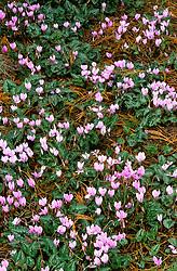 Cyclamen hederifolium including Cyclamen hederifolium f. album at Abbey Dore, Herefordshire