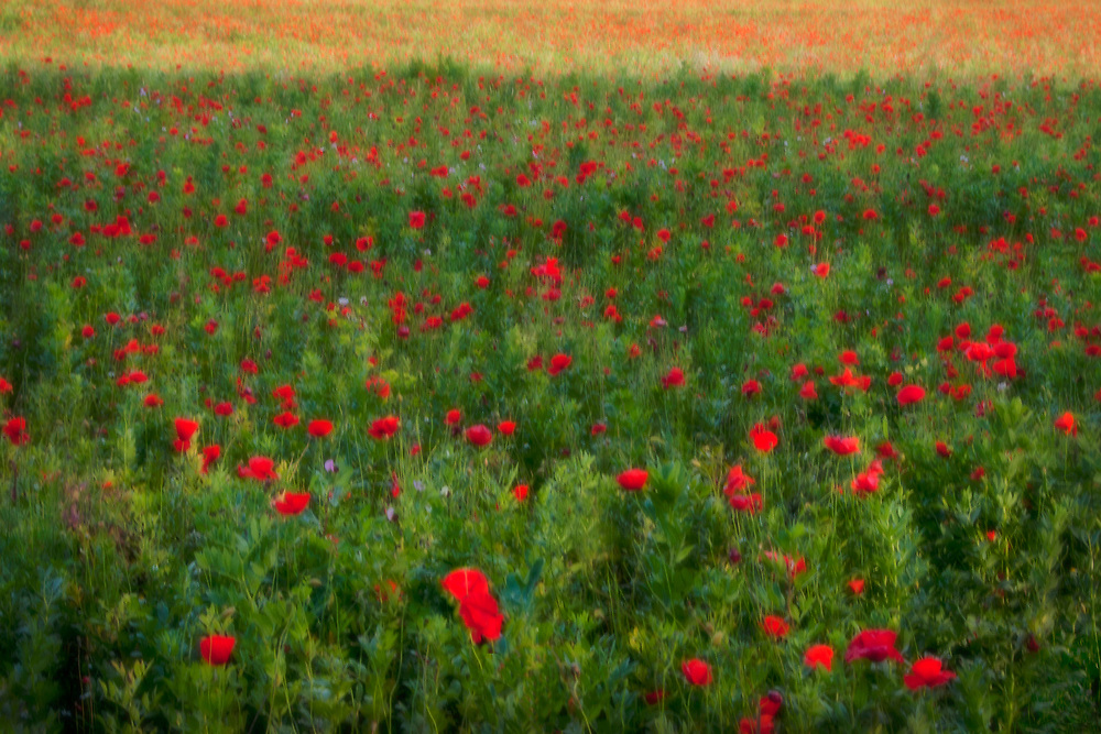 A field of poppies, Assisi, Italy