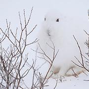 Arctic hare (Lepus arcticus), Churchill, Manitoba, Canada