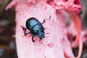 Dor beetle (Geotrupes stercorarius) scavenging on anemone stinkhorn fungus (Aseroe rubra). Surrey, UK.