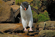 Rockhopper penguins Hop from rock to rock. Extra long yellow head feathers