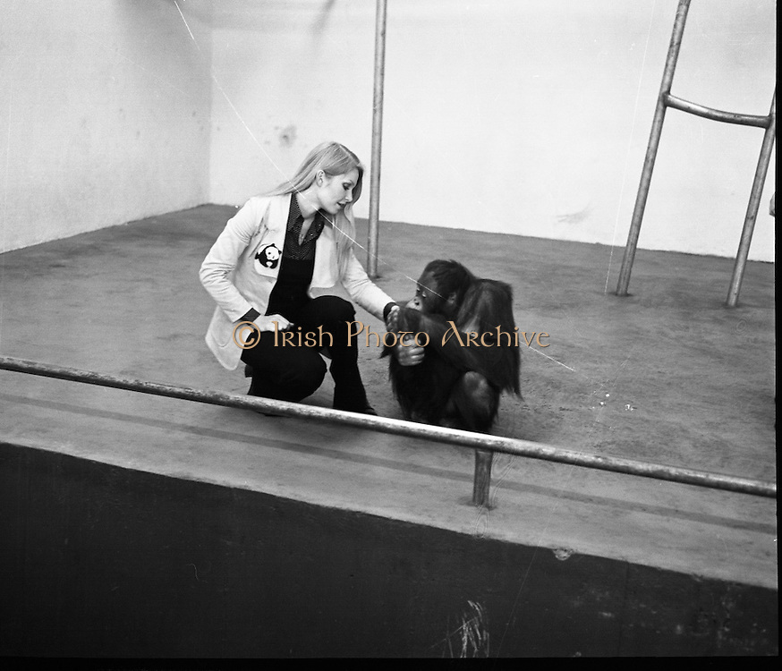 """Former Miss World Visits Dublin Zoo.<br /> 1973.<br /> 14.01.1973.<br /> 01.14.1973.<br /> 14th January 1973.<br /> Miss Eva Rueber-Staier, former Miss World from Austria and the """"World Wildlife Fund's Anniversary Girl"""", paid her first visit to Ireland to open the Shell/BP Irish Wildlife Promotion. As part of the promotion Eva paid a visit to Dublin Zoo in the Phoenix Park, Dublin.<br /> <br /> Image shows Miss Rueber-Staier meeting Tommy a seven year old Orang Utan from Borneo during her visit to the Zoo."""