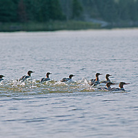 A flock of red-breasted merganser ducks (Mergus serrator) scoots atop the water at Lake of the Woods, Ontario, Canada.