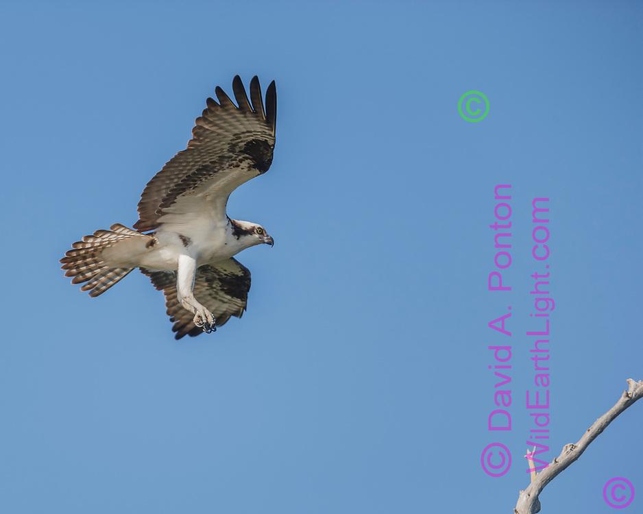 Osprey in flight, feet down in preparation for landing, © David A. Ponton