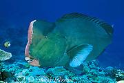 giant bumphead parrotfish, Bolbometopon muricatum, The Cod Hole, Ribbon Reefs, Great Barrier Reef, Queensland, Australia ( Pacific Ocean )