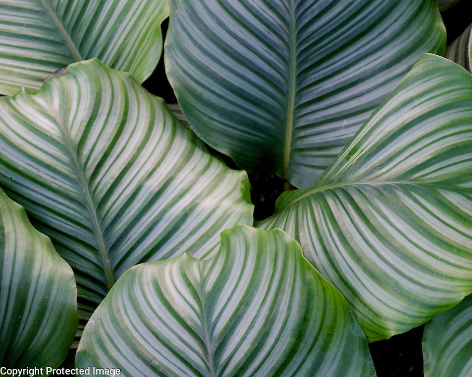 I really like the painterly look of these hosta leaves. Such a lush plant.