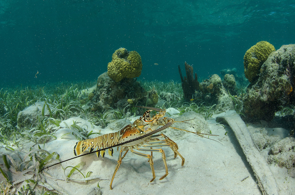 Caribbean Spiny Lobster (Panulirus argus)<br /> Halfmoon Caye, Lighthouse Reef Atoll<br /> Belize<br /> Central America