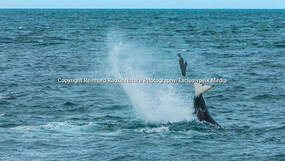 """STUNNING IMAGES CAPTURE ORCAS AS THEY DRIVE UP ON TO BEACH TO HUNT FOR SEA LION'S<br /> <br />  The hunts were taken at Valdés peninsula, Punta Norte. There are some beaches at Valdés, where very few orca whales are adapted to """"voluntary beaching"""" to get close enough to young sea lions, which play in the shallows. This is a dangerous undertaking for the whales, too. If they can't get back to deeper water they might die. Two incidents of a whale being saved by people occurred here. They spilled water over them while they were stuck, not to have them drying out. Next hightide freed them. At any given time there were less than 10 individuals capable of performing this art of hunting! Presently, this number might be a little higher. Voluntary beaching was recorded first in the seventies last century in that area. It is most probably the only area, where whales learned this technique. There are only few scattered records of this behavior from one place in the Indian Ocean, but that is not scientifically confirmed. So this is a very rare behavior in whales and it is a good example of the intelligent way these animals react to their environment.<br /> <br /> PHOTO SHOWS:  The whales sometimes toss the prey high into the air and seem to play with it. This might also be a way of getting the young used to sea lions. They can feed on them anyway only, if a second whale holds it from the other side.  <br /> ©Reinhard Radke Nature Photography/Exclusivpeix Media"""