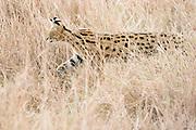 Africa, Tanzania, Serengeti National Park, Serval (Leptailurus serval) or African Wild Cat.